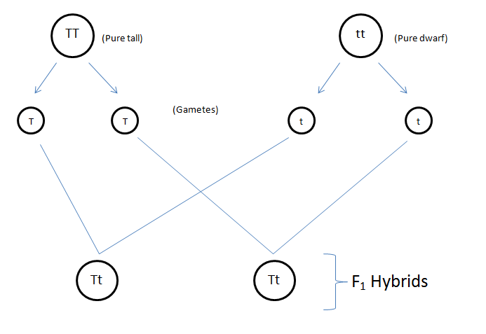 Fig: Formation of hybird