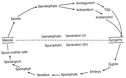 Funuria-Schematic representation of life cycle