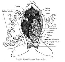Female Reproductive System of Frog