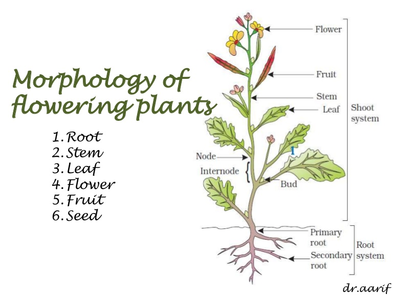 Source: www.slideshare.net Fig: Parts of a flowering plant