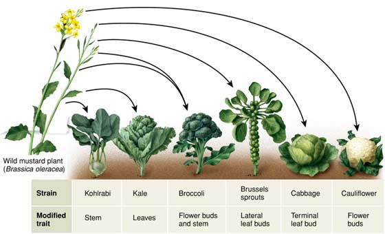 Source:old.ibpdev.net Fig:Cross of mustard and cauliflower