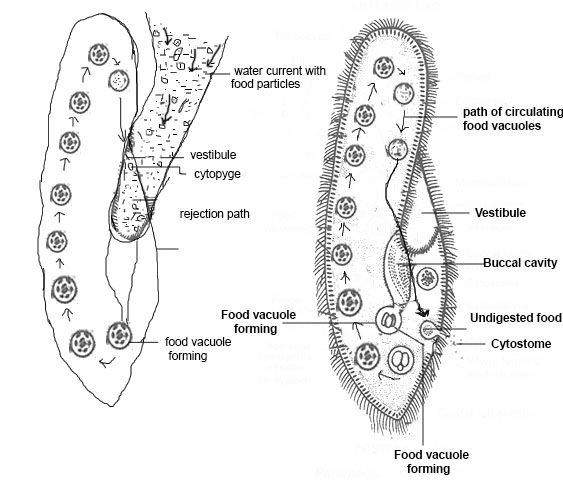 source:www.biology-resources.com neutrition of paramessium
