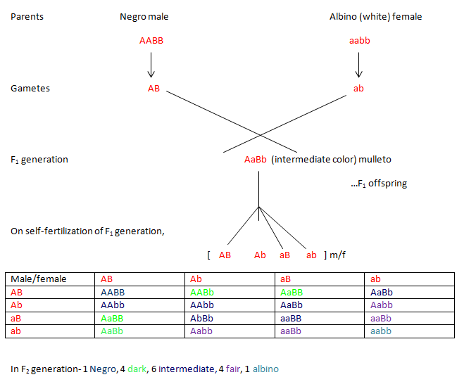 Polygenic inheritance in skin color