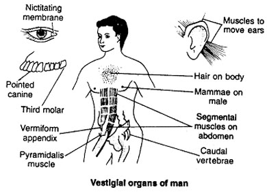 vestigial organ of human body